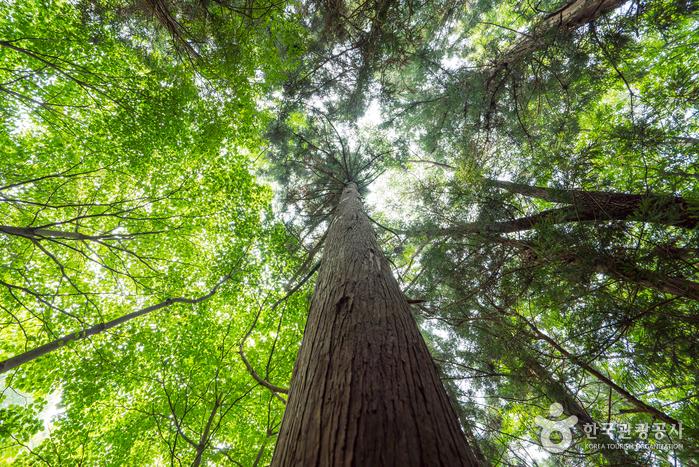 편백나무와 삼나무는 비슷하게 생겼지만 편백나무 잎은 납작하고 삼나무 잎은 바늘처럼 뾰족하다.