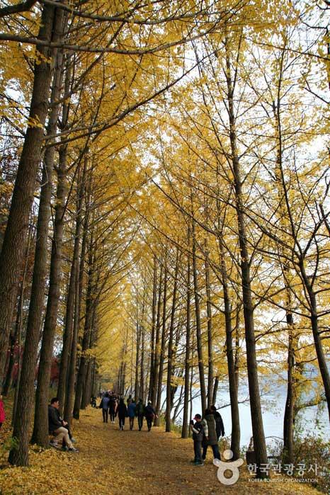 10월 중후반 남이섬 강변연인은행나무길 풍경
