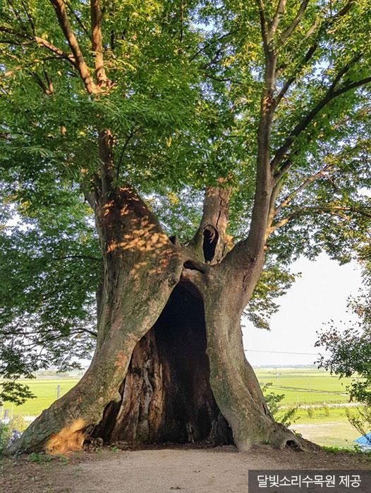 달빛소리수목원 입구에 있는 '황순원 소나기 나무' <2020-05-17사진제공:달빛소리수목원>