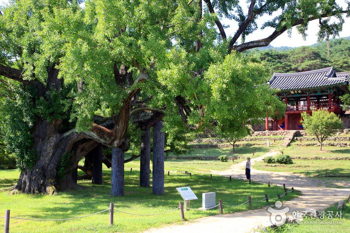 400여 년 동안 도동서원과 역사를 함께한 은행나무