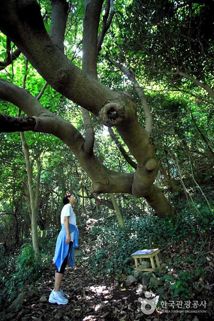 당할머니 나무라고 불리는 후박나무