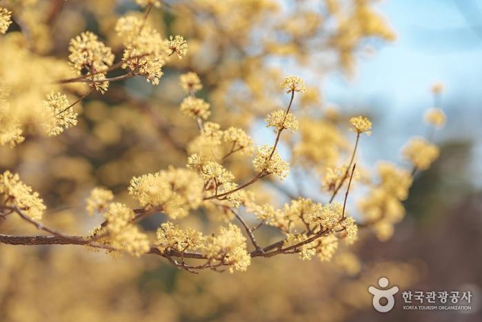 꽃을 피운 산수유나무