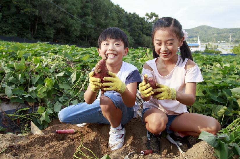 수확의 계절을 맞아 고구마 캐기 체험을 하며 즐거워하는 아이들