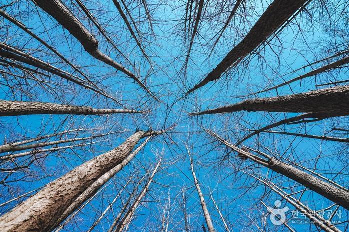쭉쭉 뻗은 은행나무의 모습이 이색적이다.