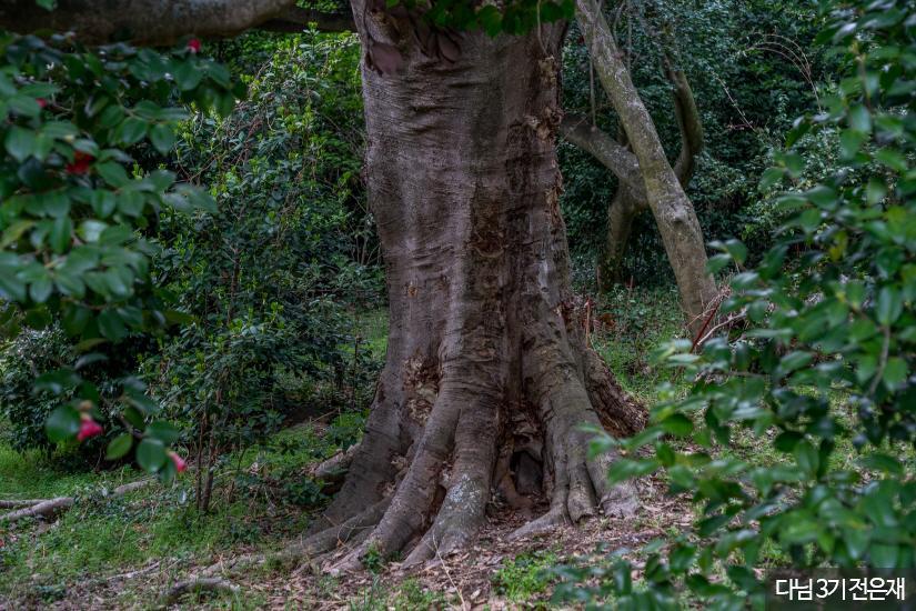 외연도 상록수림3