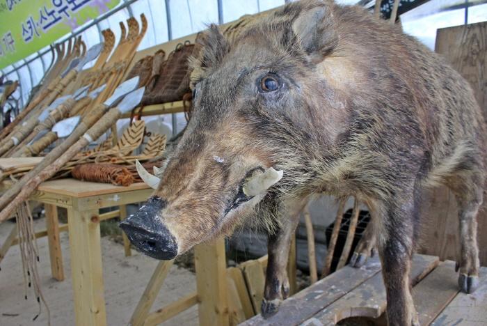 설피, 전통썰매, 창과 함께 전시된 멧돼지