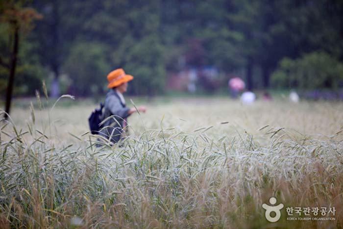 라벤더와는 완전히 다른 호밀밭의 운치