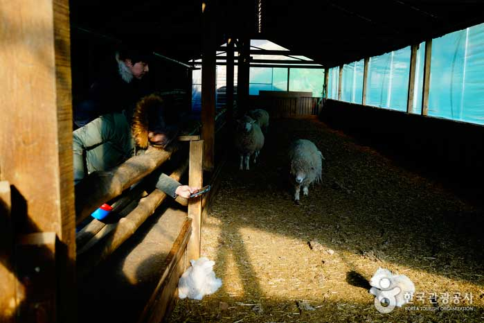 목장의 겨울은 아기 양들의 천국이다