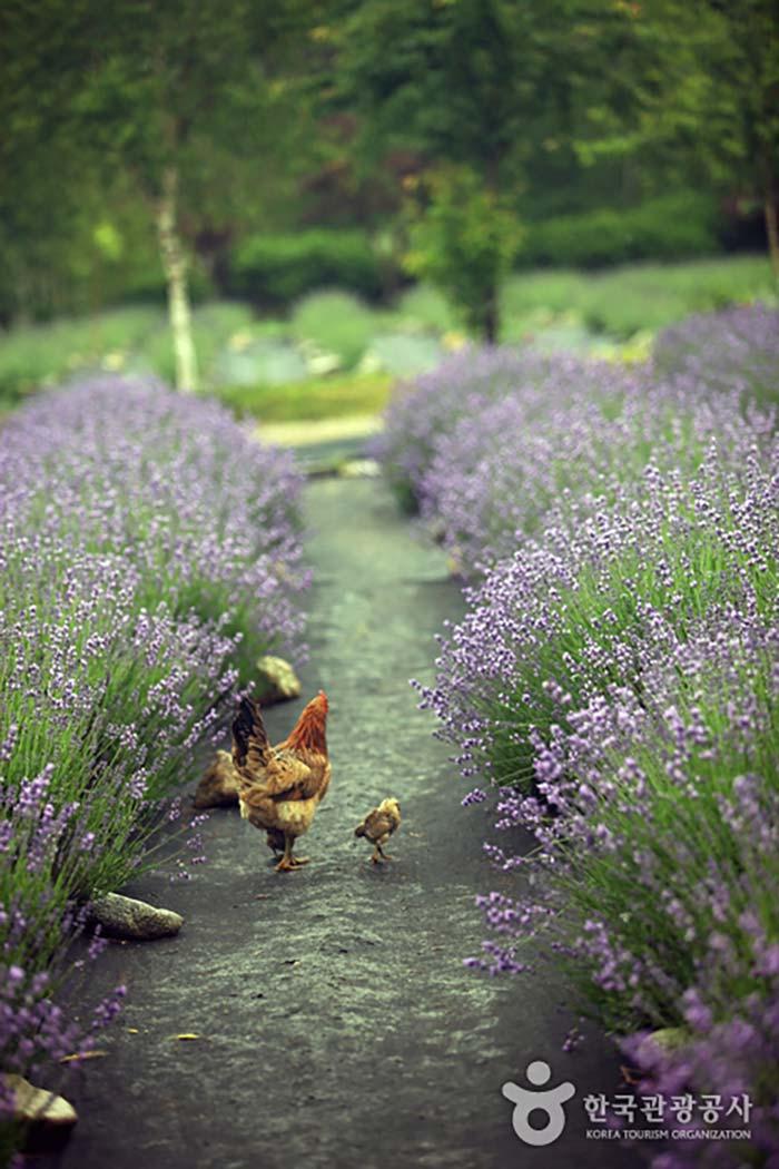 어미닭과 병아리의 여유로운 산책