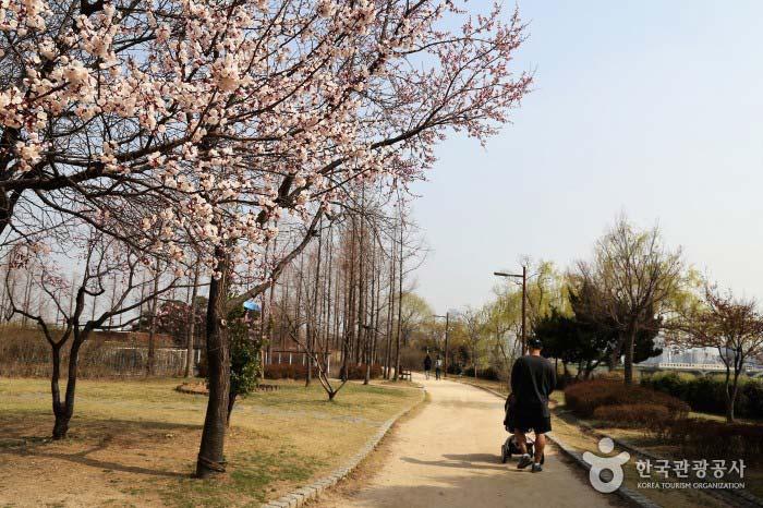 벚꽃이 한창인 선유도의 봄