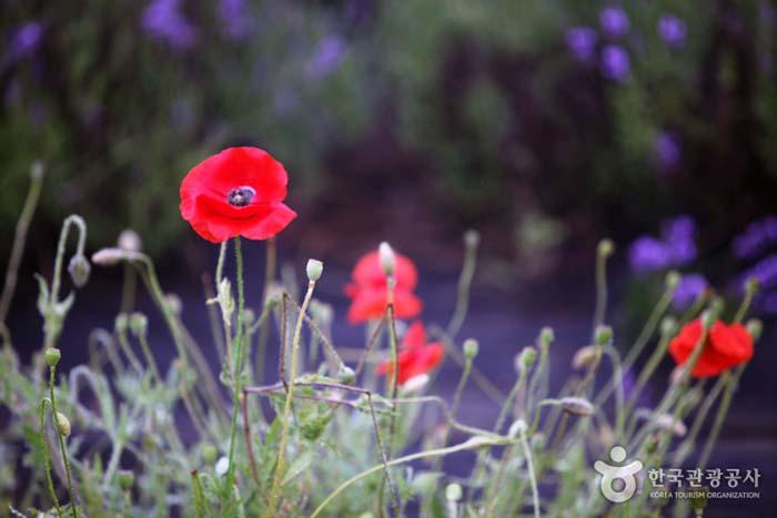 힘겹게 피어난 양귀비꽃